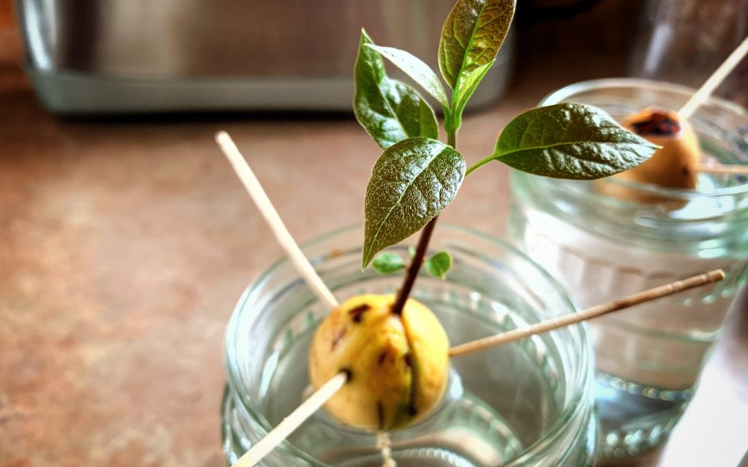 Как да отгледаме авокадо от костилка?